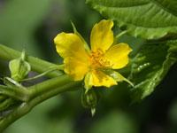 Jute mallow flower.