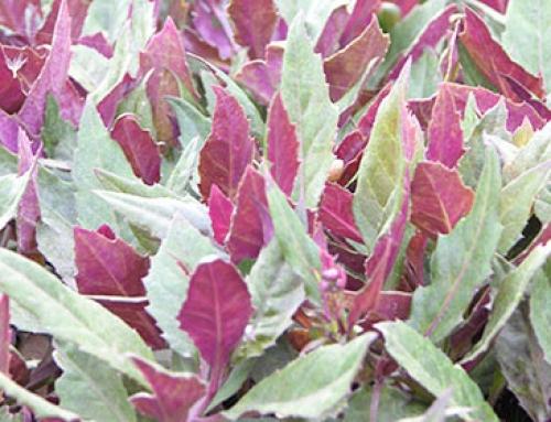 Velvet plant (Gynura bicolor)