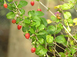 32_Chinese boxthorn Mature berries_smweb