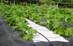 33_Cluster mallow Field production_smweb