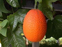 34_Spiny bitter gourd Fully ripe fruit-2_smweb