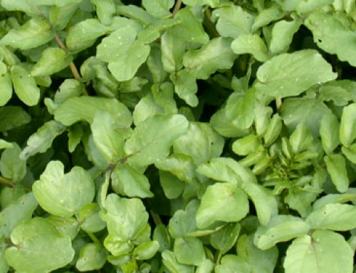 Watercress (<i>Nasturtium officinale</i>)