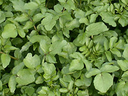 38_watercress Leaves_smweb