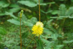 39 water mimosa Flowers_smweb