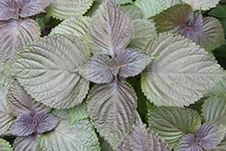 42 Perilla Purple leaf type_smweb