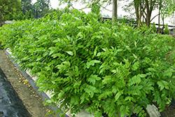 49 coffee senna Field production_smweb