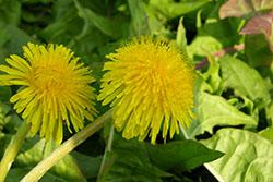 54 Dandelion Flowers_smweb