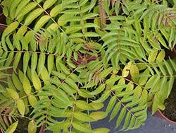 57 Chinese toon Pinnate leaves_smweb