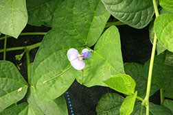 59 cowpea 59 Flower_smweb