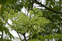 60 prickly ash Inflorescences and flowers_smweb