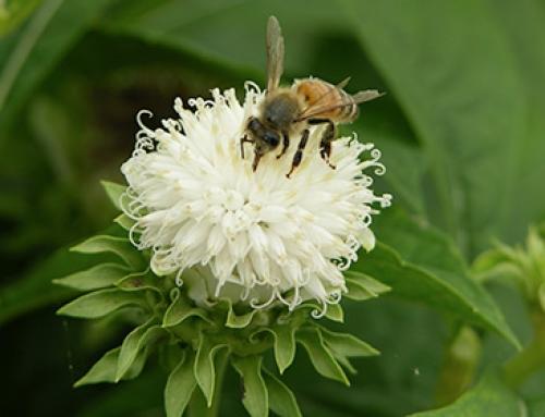 Sweet bitterleaf (<i>Vernonia hymenolepis</i>)