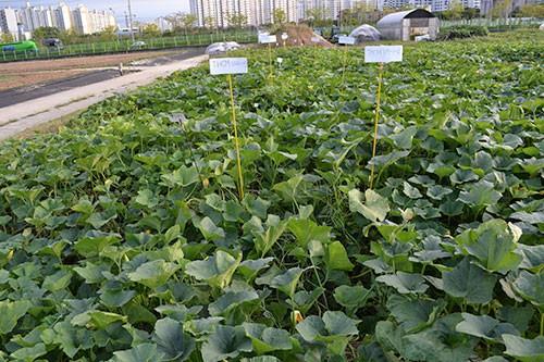 AVRDC pumpkin lines showing virus resistance in a field trial in Korea.
