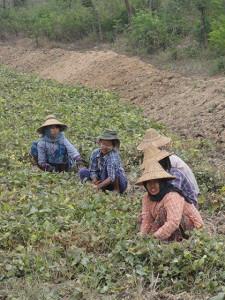 Myanmar farmers harvesting black gram.