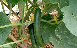 cucumber_539px