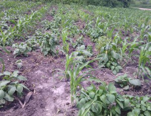 Intercropping in action: maize and amaranth.