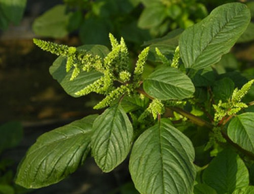 Amaranth (Amaranthus spp.)