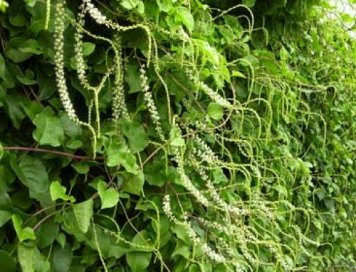 Madeira vine (Anredera cordifolia)