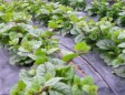 Malabar spinach (Basella spp.)