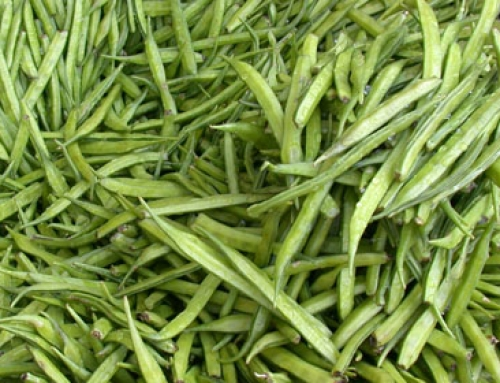 Cluster bean (Cyamopsis tetragonoloba)