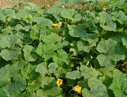 Pumpkin (Cucurbita moschata)