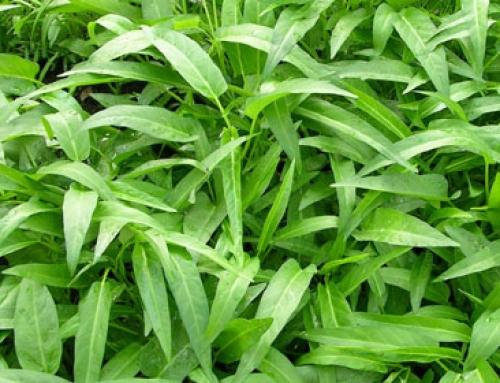 Kangkong (Ipomoea aquatica)