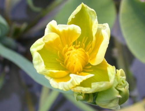 Velvetleaf (Limnocharis flava)
