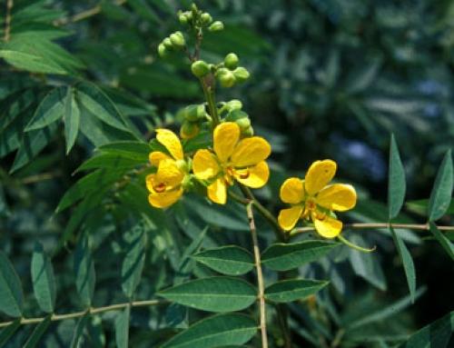 Coffee senna (Senna occidentalis)