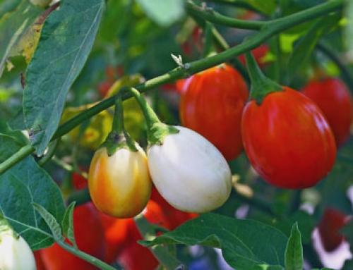 African eggplant (Solanum aethiopicum)