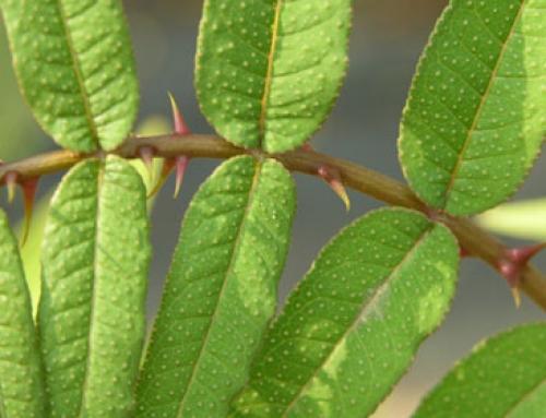 Japanese prickly ash (Zanthoxylum ailanthoides)