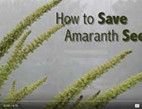 Saving AMARANTH seed