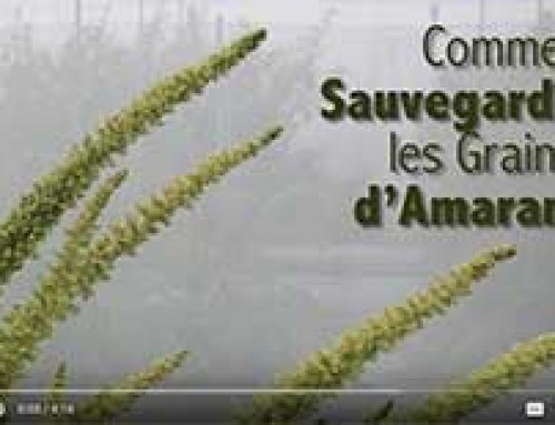 Saving AMARANTH seed — French