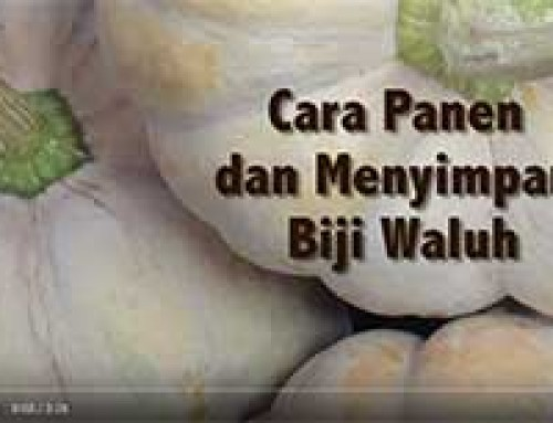 Saving PUMPKIN seed — Indonesian
