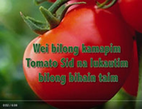 Saving TOMATO seed — Tok Pisin