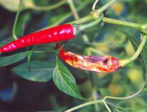 Development of vegetable (pepper and tomato) varieties in Asia with AFACI country members