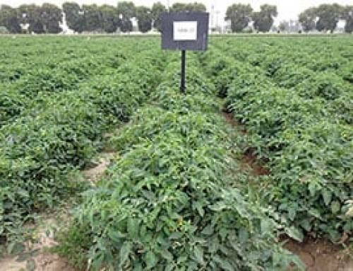 The benefits of WorldVeg tomato breeding
