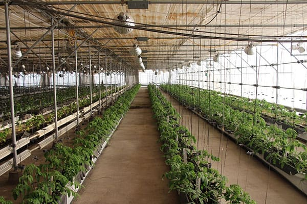 In Kazakhstan, the Institute of Vegetable Research is making crosses using WorldVeg tomato lines.