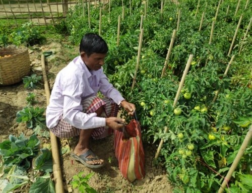 Improved tomato production brings happiness through increased income to farmers