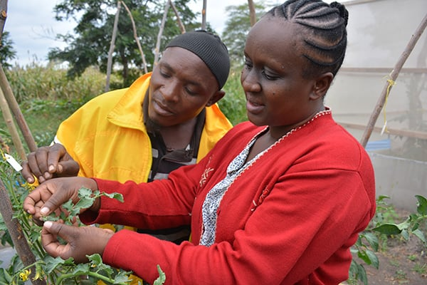 Ms. Anna Roman, Extension Officer at Matufa, shows a farmer how to spot Tuta absoluta damage.