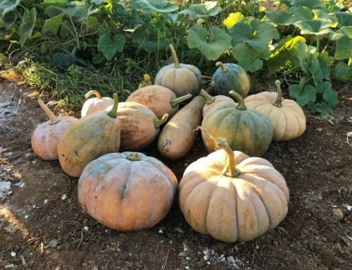 Pumpkins with a history