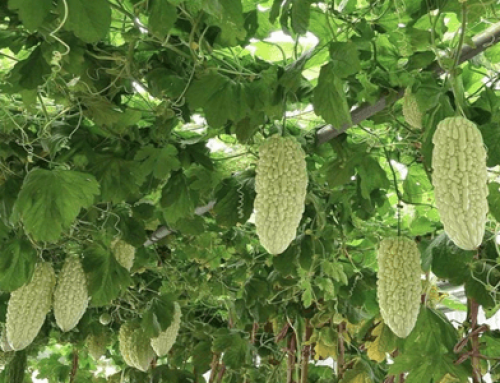 Why are there so many kinds of bitter gourd?